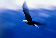 prints-of-america-for-photo-decor-by-Alaska-born-travel-photographer-randy-wells, Image of a bald eagle in flight on the Kenai Peninsula, Alaska, the bald eagle is a bird of prey and national bird and symbol of the United States of America