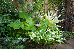 Yucca gloriosa Bright Star = 'Walbristar' with Acanthus mollis 'Hollard's Gold', Helleborus x hybridus 'Citron' seedlings and Kerria japonica 'Albescens'.