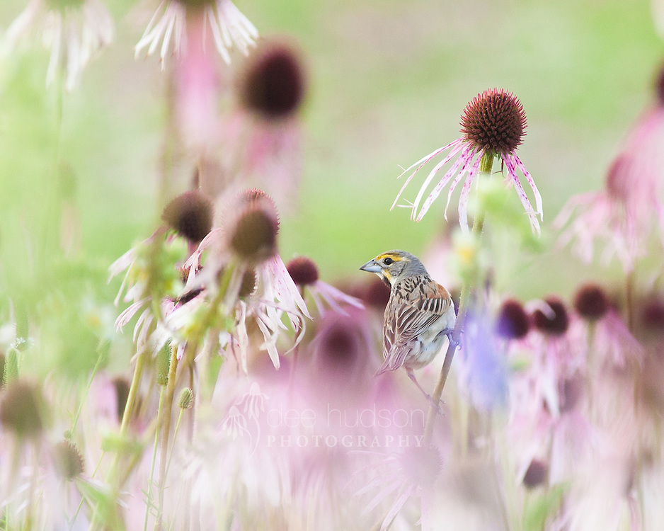 """""""Clinging to Habitat."""" <br /> <br /> A Dickcissel grasps the pale purple coneflower.<br /> <br /> Dickcissel (Spiza americana)"""