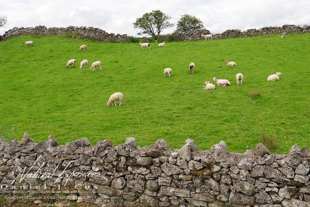 Sheep grazing on the Irish country side, Ireland