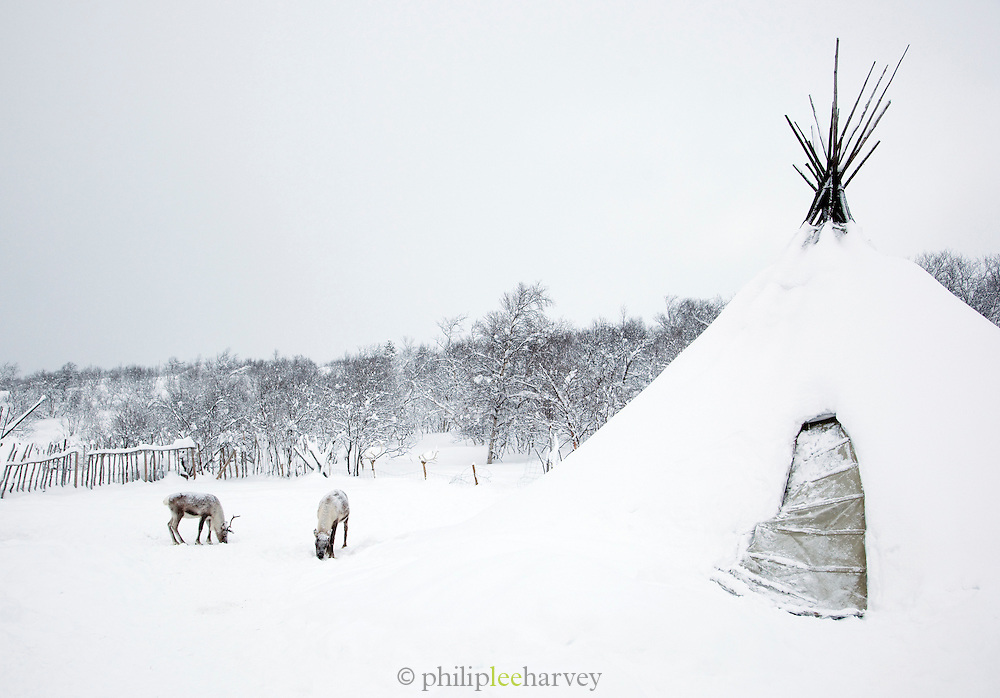 Reindeers graze outside a Sami lavvu, a traditional, temporary tent, in Kirkeness, Finnmark region, northern Norway