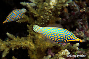 longnose filefish, Oxymonacanthus longirostris, Surin Islands, Thailand ( Andaman Sea, Indian Ocean )
