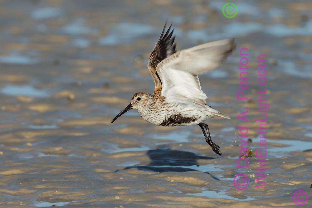 Dunlin takes flight from mud flats at the edge of Richards Bay, Florida Gulf Coast, © David A. Ponton