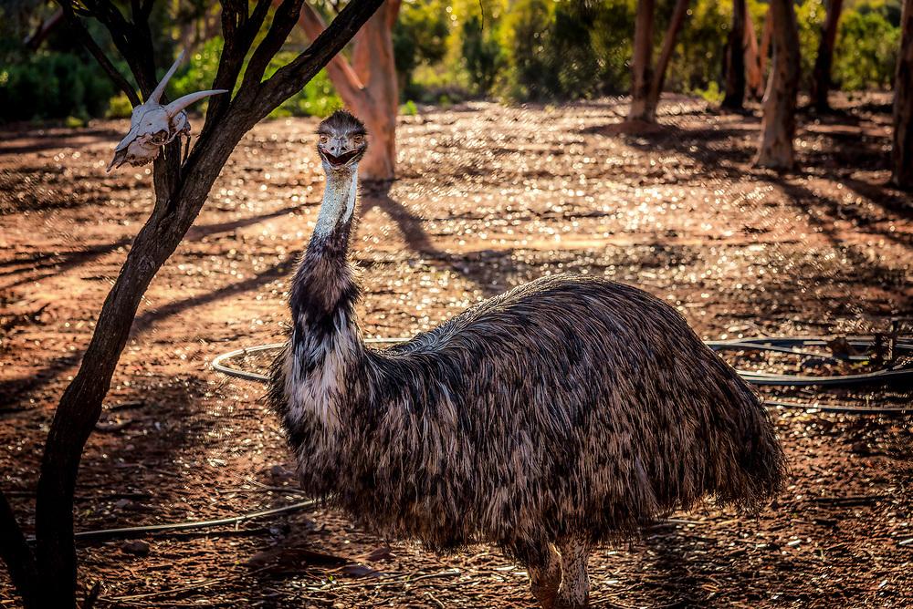Emu in Kalgoorlie