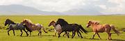 Icelandic Horses running in a row in green grass.  Painteffect added | Islandshester som løper på rekke i grønt gress. Litt malerisk effekt er lagt til.