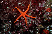 UNDERWATER MARINE LIFE EAST PACIFIC: Northeast SEA STARS: Blood star Henricia leviuscula