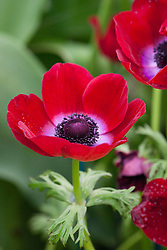 Anemone coronaria 'Bordeaux'