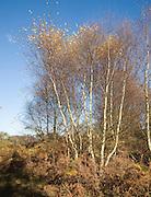 Betula pendula silver birch trees autumn Suffolk Sandlings heathland, Sutton heath, Suffolk, England