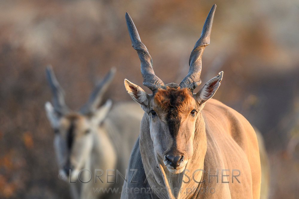 Wiederkäuende Elenantilopen-Bullen (Taurotragus oryx) im Schutzgebiet Tuli Block, Botswana<br /> <br /> Ruminating Common eland bulls (Taurotragus oryx) in the private game reserve Tuli Block, Botswana