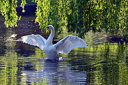 © Licensed to London News Pictures. 02/06/2013. London, UK A male swan stretches his wings in the early morning sunshine. People enjoy the sunshine in the grounds of Chiswick house, West London, today 2nd June 2013. Photo credit : Stephen Simpson/LNP