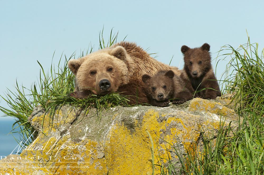 Alaska brown bear (Ursus middendorffi) mother with her cubs. Katmai National Park & Preserve, Alaska