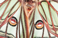 Male Isabelline moth, Spanish luna moth, Graellsia isabellina, France