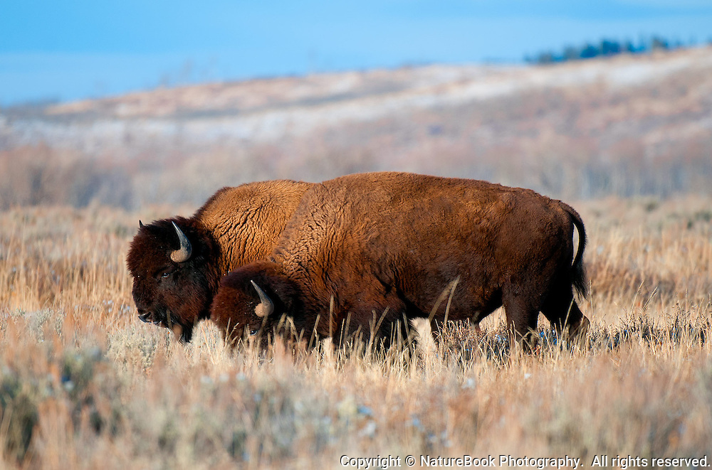 Two bison grazing at Grand Teton National Park.