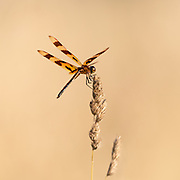 Halloween Pennant dragonfly catching his balance in the wind