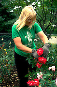 Gardener age 30 pruning prize winning roses.  Edina  Minnesota USA