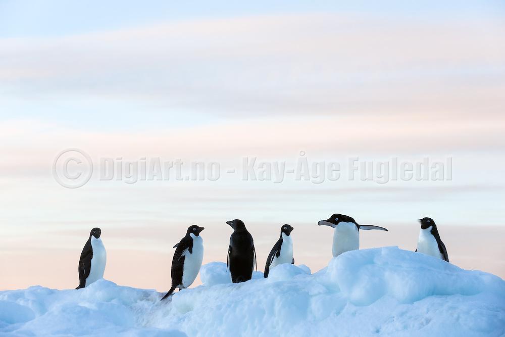 Adélie penguins at Gourdin Island,  Antarctica   Adeliepingviner i Antarktis