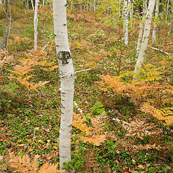 Paper birch trees, betula papyrifera, in fall near Witch Hole Pond in Maine's Acadia National Park.