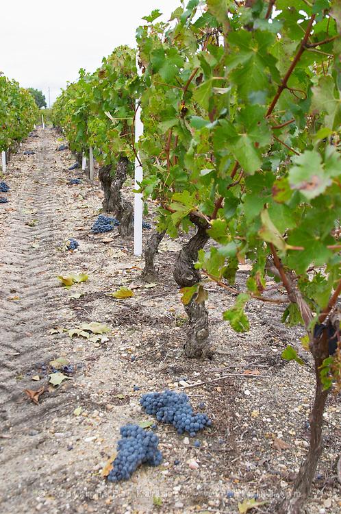Sand. Green harvested grapes dumped on the ground. Cabernet Sauvignon. Chateau Liversan, Domaines Lapalu, Haut Medoc, Bordeaux, France