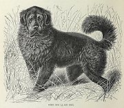 Tibet Dog [Tibetan Mastiff]  From the book ' Royal Natural History ' Volume 1 Section II Edited by  Richard Lydekker, Published in London by Frederick Warne & Co in 1893-1894