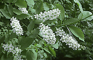Bird Cherry Prunus padus Rosaceae Height to 17m <br /> Deciduous tree, domed with age. Bark Smooth, dark grey-brown; unpleasant smell if rubbed. Branches Mostly ascending, with downy twigs. Leaves Elliptical, to 10cm long, toothed, tapering at tip. Reproductive parts Flowers white, 5-petalled, in 15cm-long spikes. Fruits to 8mm long, shiny black. Status Local, mainly on limestone in N; also widely planted.