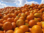 Israel, Shephelah, a pile of freshly picked ripe clementine