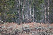 Bull elk in Wyoming Bull elk during the fall rut in Wyoming