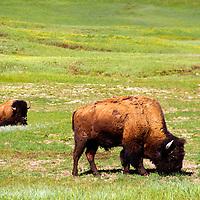 North America, USA, United States, Wyoming, Yellowstone National Park. American Bison.