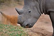 Male White Rhinoceros, Ceratothorium simum, trying to impress on a female by showing digging skills...Marataba Private Reserve, Marakele National Park, Limpopo, South Africa
