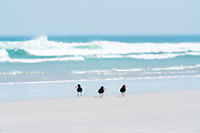 Three oystercatchers scouring the shore at Melkbosstrand on the Western Cape