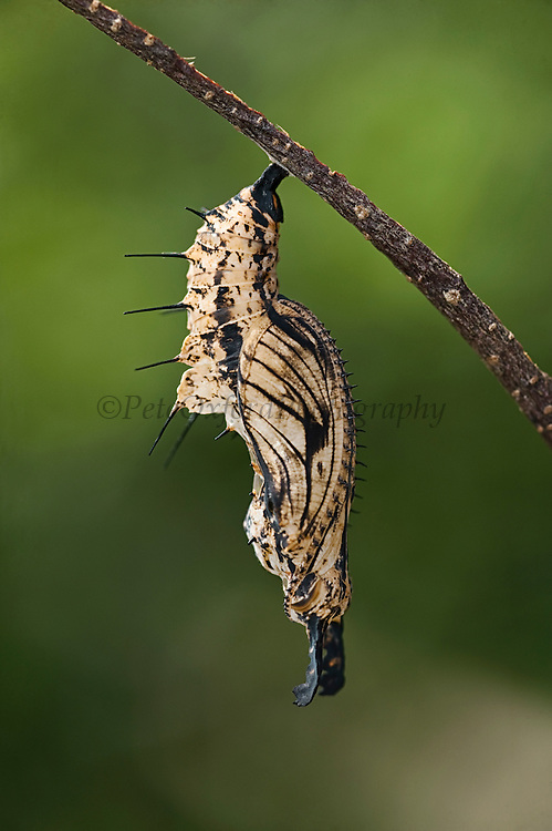 Sara Longwing Butterfly Chrysalis (Heliconius sara)<br /> Butterfly Farm<br /> Iwokrama Forest Reserve<br /> GUYANA<br /> South America