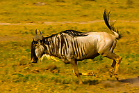 Blue wildebeest (gnu) running, Amboseli National Park, Kenya