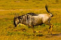 Blue wildebeest (gnu) running, Amboseli National Park, Kenya