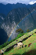 """A rainbow shines over a llama grazing on agricultural terraces at Machu Picchu, Cordillera Vilcabamba, Andes mountains, Peru, South America. Machu Picchu was built around 1450 AD as an estate for the Inca emperor Pachacuti (14381472). Spaniards passed in the river valley below but never discovered Machu Picchu during their conquest of the Incas 1532-1572. The outside world was unaware of the """"Lost City of the Incas"""" until revealed by American historian Hiram Bingham in 1911. Machu Picchu perches at 2430 meters elevation (7970 feet) on a well defended ridge 450 meters (1480 ft) above a loop of the Urubamba/Vilcanota River ( Sacred Valley of the Incas). UNESCO honored the Historic Sanctuary of Machu Picchu on the World Heritage List in 1983."""