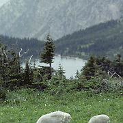 Mountain Goat (Oreamos americanus). An ewe and a lamb grazing in an alpine meadow in Glacier National Park, Montana.