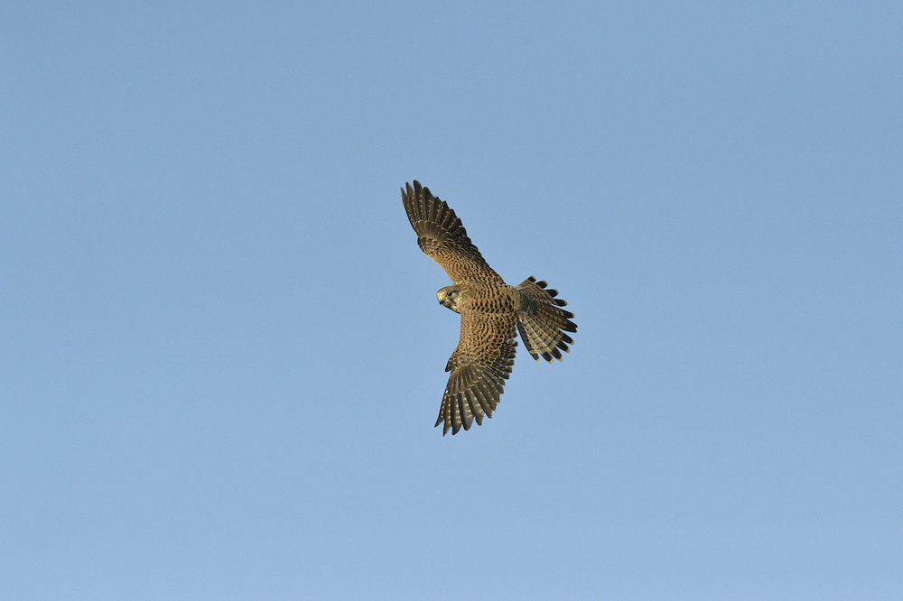Kestrel Falco tinnunculus - Female. W 65-80cm. Familiar small falcon that habitually hovers where look-out perches are not available. Feeds on small mammals, ground-dwelling birds and insects. Sexes are dissimilar. Adult male has spotted, orange-brown back, blue-grey head, and blue-grey tail with black terminal band. Underparts are creamy buff with bold black spots. In flight from above, dark outer wing contrasts with orange-brown inner wing and back. Adult female has barred brown upperparts and pale creamy buff underparts with dark spots. In flight from above, contrast between brown inner wing and dark outer wing is less distinct than with male and tail is barred. Juvenile resembles adult female but upperparts are more reddish brown. Voice Utters a shrill kee-kee-kee… Status Common and widespread in open, grassy places. Breeding success dependent upon prey populations, notably Short-tailed Voles and Wood Mice.