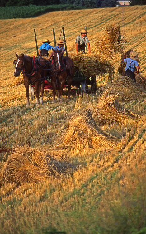 Amish boys harvest wheat, Lancaster County