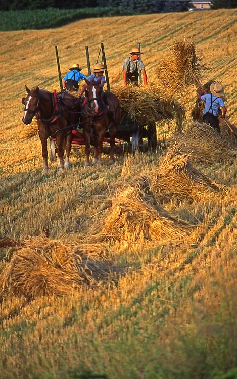 Amish boys harvest wheat, Lancaster County