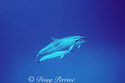 spinner dolphins, Stenella longirostris, Kona, Hawaii ( the Big Island ), USA ( Central Pacific Ocean )