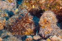 rockmover wrasse, dragon wrasse, reindeer wrasse, Novaculichthys taeniourus, juvenile, swimming elusively, camouflaging itself as a drifting seaweed, Kona Coast, Big Island, Hawaii, USA, Pacific Ocean