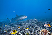 tiger shark, Galeocerdo cuvier, swims over a coral reef with colorful butterflyfish, blueline snappers, and other tropical fish, Honokohau, Kona, Big Island, Hawaii, USA ( Central Pacific Ocean )
