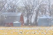 Snow Geese near Freezeout Lake, Montana