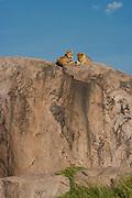 Lion cubs rest atop a kopje (rock outcrop), Serengeti Nationa Park, Tanzania