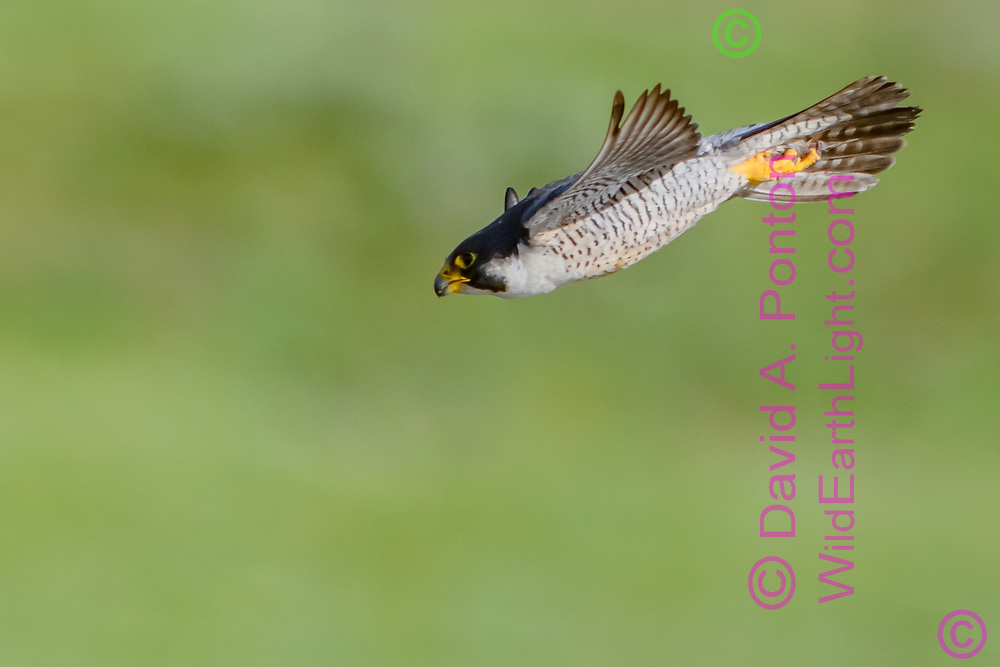 Peregrine falcon pulls out of dive and maintains speed as it heads toward small, evasive prey, © David A. Ponton