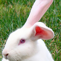 White rabbit with pink eyes.