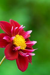 Dahlia 'Alpen Beauty'