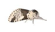 71.006 (1996)<br /> Alder Kitten - Furcula bicuspis