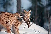 Lynx walking with red grouse in it's mouth