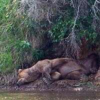 USA, Alaska, Katmai. Old male grizzly sleeping on riverbank.