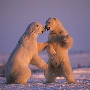 Polar Bear wrestling in Churchill, Manitoba, Canada.