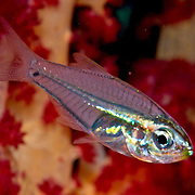 Pearly Cardinalfish form aggregations in branching corals. Picture taken Halmahera Islands, Indonesia.